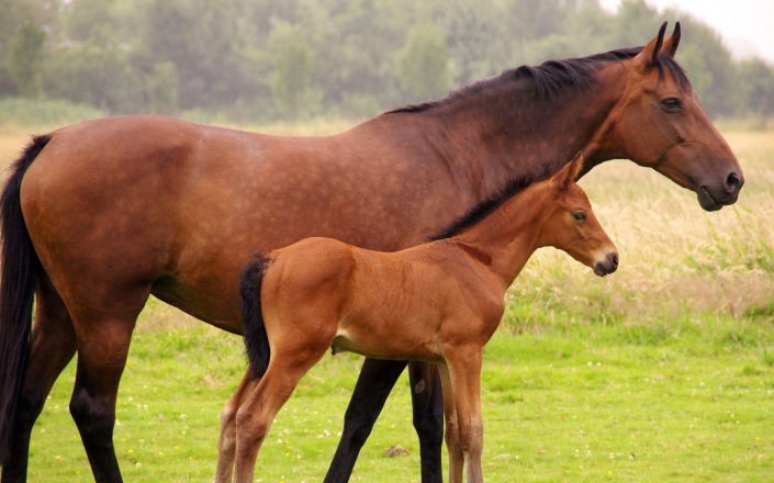 mare and foal2